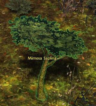mimosa_sapling_gw2_gathering